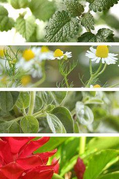 Medicinal Plants You Can Grow At Home