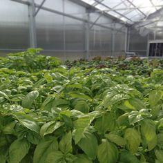Fresh basil growing in the greenhouse at Perona Farms!