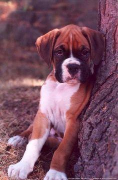 boxer puppy : ))