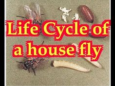 Flies lifecycle (#11