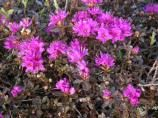 Lapland Rosebay, rhododendron lapponicum, is a member of the Heath family.
