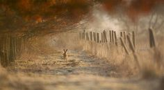 Hare in Morning Light by Ian Paul Haskell (Habitat winner, British Wildlife Photography Awards 2011)