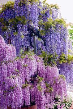 Violet Beauty of wisteria, Japan