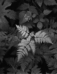 ansel adams. leaves, mt. rainier.