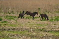 Wild Horses on the La Chua Trail at Paynes Prairie near #Gainesville. Photo by Susannah Peddie.
