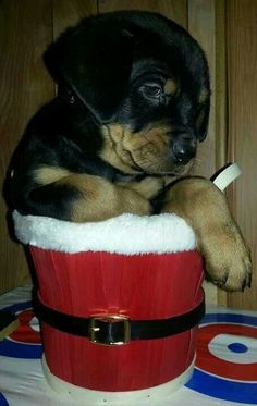 #Rottweiler #pup in a Christmas basket