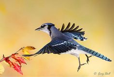Blue Jay by Gerry Sibell