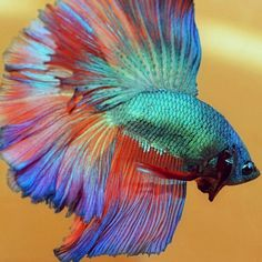 Flaring betta fish | Flickr - Photo Sharing!