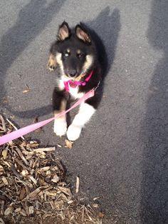 Gerberian shepsky   Puppy L