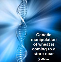 genetic manipulation of wheat is coming