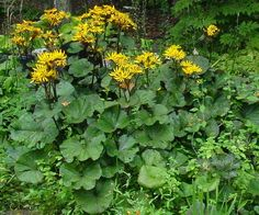Ligularia, Soil Type - well drained, Soil ph - Neutral,Water - Moist, Light - Part to Full Shade   Height - up to 4 ft.,Time of bloom - July - September, Flower colors - Yellow   Propagation - Seed   Transplants - Easy   These plants dislike the hot afternoon sun and will wilt in it. Generally no harm is done unless the soil is allowed to dry out.   A good self-seeder that will fill an area quickly.