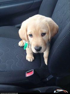soon-to-be-guide-dog puppi eye, sad puppi, guid dog
