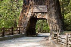 redwood forest!