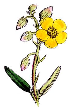 *The Graphics Fairy LLC*: Botanical Graphic - 3 More Pretty Wildflowers