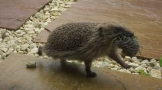 In this photograph a mother hedgehog relocates its hoglet baby using its mouth, an event that has never been documented before. BBC website February 2013