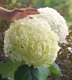 Hydrangea care tips- including how to adjust the color of the blooms!