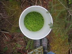 harvesting spruce tips?  Investigate how to cook with them!