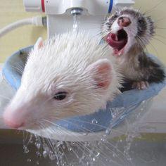Amazing #ferret photo! Bath time!    makin5:    超舌巻いてますね… #ferret #petstagram #instaferret #フェレット #いたち #animal (Instagramで撮影)