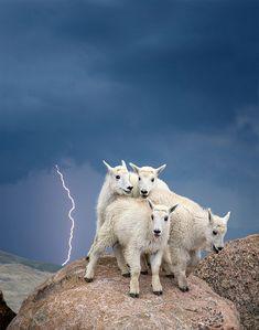 Mountain Goat Kids, Colorado / Image credits: Verdon Tomajko