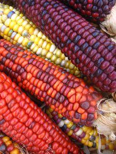 Indian Corn - Maïs indien