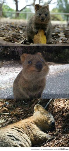 This Is A Quokka, The Happiest Looking Creature On The Planet…