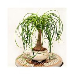 Ponytail Plant in a Bonsai Pot-Bonsai trees