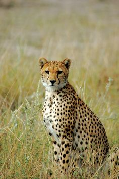 Cheetah in Africa. #