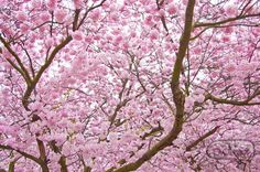 Another one of my favorites... Cherry Blossoms :)