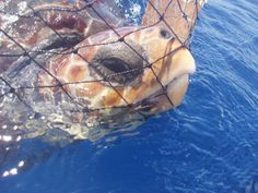 HELP PROTECT! Endangered Turtles from Trap Nets! Tell the National Marine Fisheries Service to put into place regulations that will prevent the slaughter of these animals and bring to justice fisheries that ignore these protections!  PLZ SIGN AND SHARE!