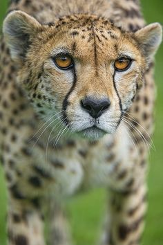 Walking female cheetah