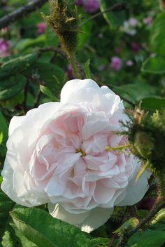 Rosa 'Shailer's White Moss' (U.K., 1788)