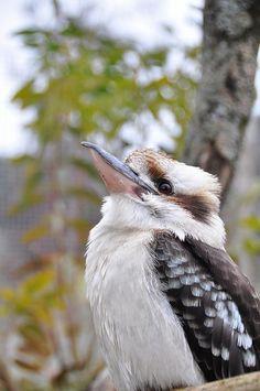 I dare you not to smile when you hear a kookaburra laugh. http://youtu.be/Fc_-icFHwQo