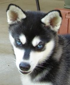 toy Alaskan klee kai (mini husky)