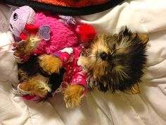 World's Smallest  Adorable Yorkie. Will Melt Your Heart! anim, heart, cutest dogs, ador yorki, pet, yorkieparti yorkiemorkieshorki, smallest ador, puppi, dog stories