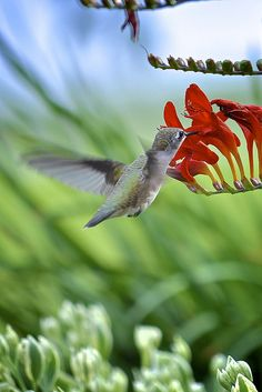 ☀Hummingbird by sankofa2rr on flickr*