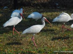American White Ibis (Eudocimus albus) is a species of wading bird of the ibis family Threskiornithidae which occurs from the mid-Atlantic coast of the United States south through most of the New World tropics.