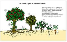 The seven layers of a forest garden