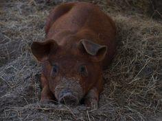 duroc+pigs | Duroc – Pictures