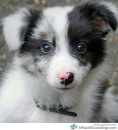 Border Collie Puppy! Oh my heart!