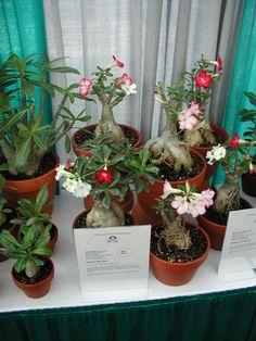 desert bonsai, rose desert, desert rose