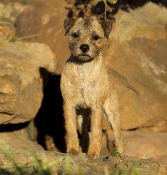Border Terrier, GCH CH Devon's Semper Fi