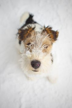 Adorable Wire Fox Terrier in the snow.