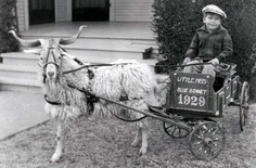 1929 Goat cart. I have a picture of my dad in a goat cart pulled by a goat, just like this one, it says Oklahoma City, 1930.