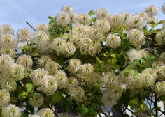 Clematis lasiantha - PIPESTEMS (Native Plant)