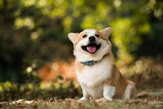 Cheer Up Your Day With Corgi Smile - Famous Funny Cute Cat And Puppy Photo - WEENII.COM | Life's 1 good big dream