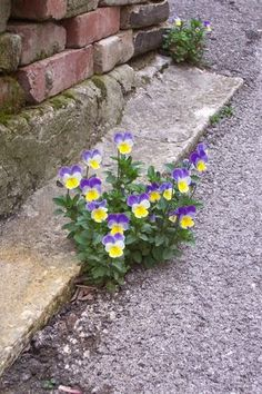 """....in a small crack between pavement and cement. Violets are """"hard to kill"""" little flowers!!"""