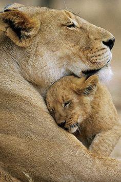 Lioness  Cub love