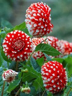 Red and White Dahlia plant, flore, pom poms, polka dot, red, dahlias, beauti, flowers garden, white dahlia
