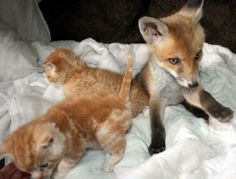 The injured fox was found with severe head injuries by the side of a  way after he was hit by a car. While still unconscious, the fox was put into a cage with three orphaned kittens, Amazingly, the cats immediately began to groom the fox and snuggled up to him as he slowly came out of the coma. The cub, which was not even expected to survive, then began to regain his sight and health after just five days. Now the fox has made a full recovery and formed an incredible bond with the feline friends.