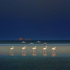 Flamingos in the Galapagos Islands.